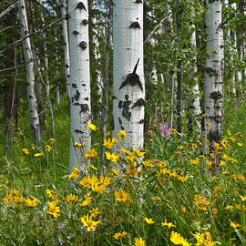 Jeff Goulden - Aspen Trees and Wildflowers