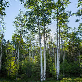 Brian Harig - Aspens At Sunrise 1 - Santa Fe New Mexico