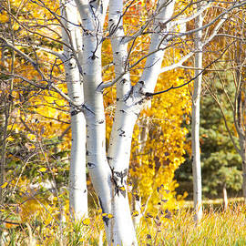 David Millenheft - Aspens in fall