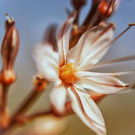 Meir  Jacob - Asphodelus Blossom