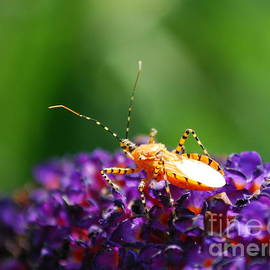 Kassia Ott - Assassin Bug