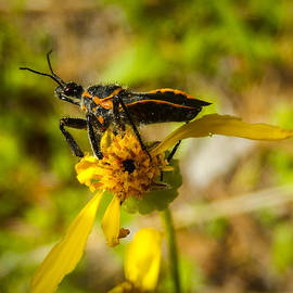 Karen Rispin - Assassin Bug On Groundsel