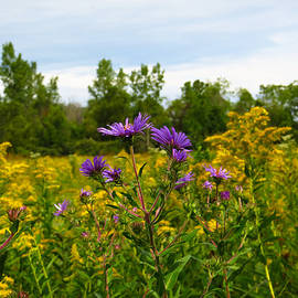 Shawna  Rowe - Asters and Goldenrod