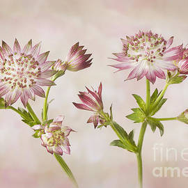 Jacky Parker - Astrantia major
