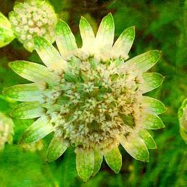 The Creative Minds Art and Photography - Astrantia with added texture