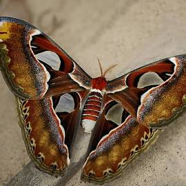 John Fotheringham - Atlas Hawk Moth
