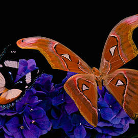 Leslie Crotty - Atlas Moth Rendezvous With The Gladiator Butterfly At Midnight
