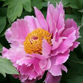 Christiane Schulze Art And Photography - Attractive Pink Peony
