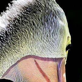 Mr Bennett Kent - Australian Pelican Portrait