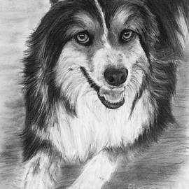 Kate Sumners - Australian Shepherd Dog Sketch