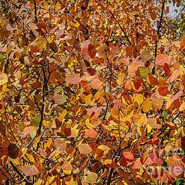 Janice Rae Pariza - Autumn Aspen Leaves