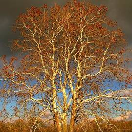 Dan Sproul - Autumn Birch