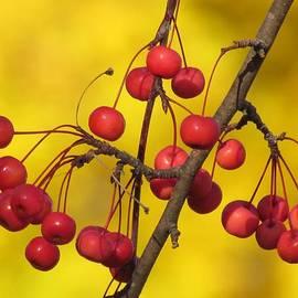 Lori Frisch - Autumn Crab Apples