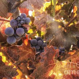 Michele Steffey - Autumn in the Vineyard