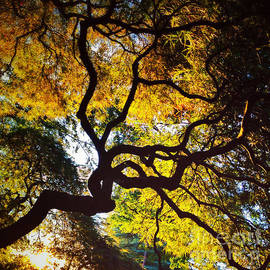 Andrea Gingerich - Autumn Japanese Maple