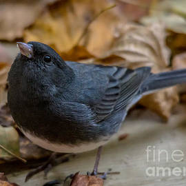 Cheryl Baxter - Autumn Junco