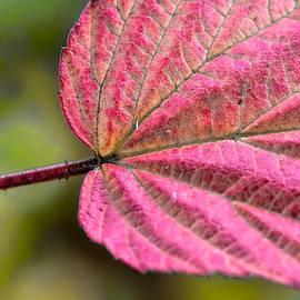 Leif Sohlman - Autumn leaf
