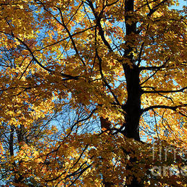 Glenn Morimoto - Autumn limbs and leaves