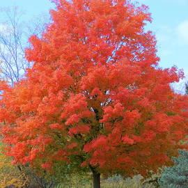 Kay Novy - Autumn Maple