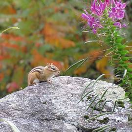 MTBobbins Photography - Autumn Rock Chipmunk