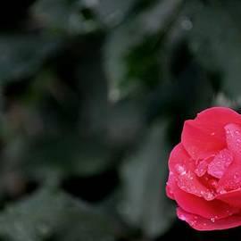 Karen  Majkrzak - Autumn Rose with Raindrops