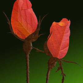 Stephen Kinsey - Autumn Rosebuds