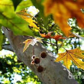 Violeta Ianeva - Autumn Sycamore Leaves