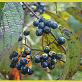 Mother Nature - Autumn Viburnum Berries Series - A Trilogy