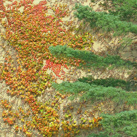 Ann Horn - Autumn Vine and Evergreen