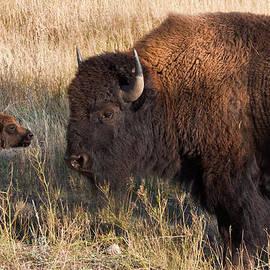 Kathleen Bishop - Baby Bison Meets Daddy