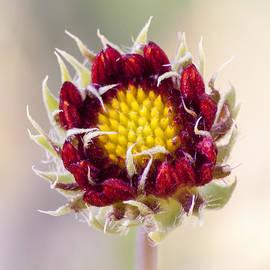 Caitlyn  Grasso - Baby Blanketflower