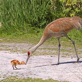 Peggy Collins - Baby Crane with Mother