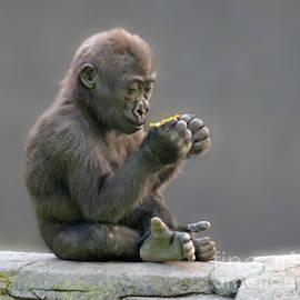 Jim Fitzpatrick - Baby Gorilla Examining a Weed