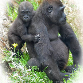 Jim Fitzpatrick - Baby Gorilla Holding onto His Mommy
