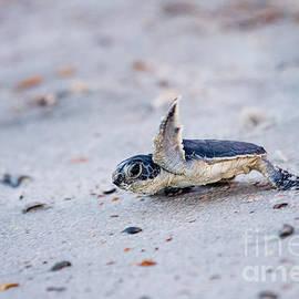 Dawna  Moore Photography - Baby Green Sea Turtle