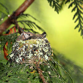 Peggy Collins - Baby Hummingbirds in a Nest