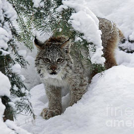 Inspired Nature Photography By Shelley Myke - Baby Lynx Hiding in a Snowy Pine Forest