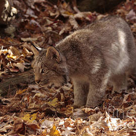 Inspired Nature Photography By Shelley Myke - Baby Lynx on the Look Out