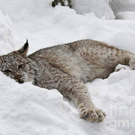 Inspired Nature Photography By Shelley Myke - Baby Lynx Watching You