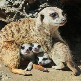 Margaret Saheed - Baby Meerkats View The world