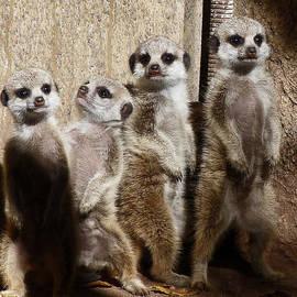 Margaret Saheed - Baby Meerkats With Attitude