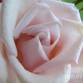 Elizabeth Dow - Baby Pink Rose