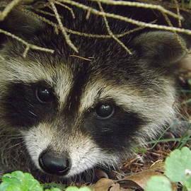 Dennis Pintoski - Baby Raccoon