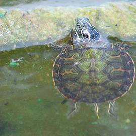 Carla Mason - Baby Red-Eared Slider Basking Turtle