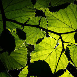 Fabrizio Troiani - Backlit leaves