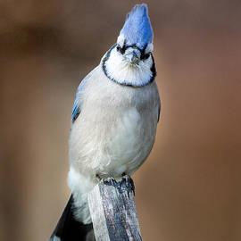Bill  Wakeley - Backyard Birds Blue Jay