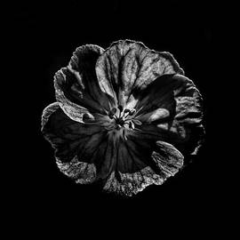 Brian Carson - Backyard Flowers In Black And White 6