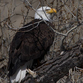 Ernie Echols - Bald Eagle 3 Colorado