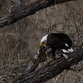 Ernie Echols - Bald Eagle Colorado
