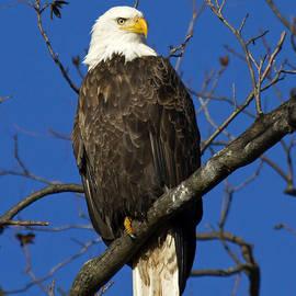 Eric Mace - Bald Eagle